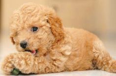 MINIATURE POODLE PUPPIES « Puppies for sale | Dogs f, ID-1894746