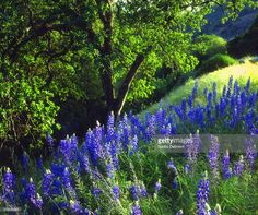lupine-wildflowers-in-forest-sierra-nevada-mountains-california-usa-picture-id513055861 (1024×857)