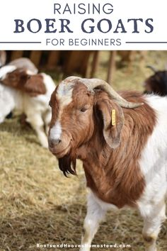 Information you need to know about raising Boer goats perfect for beginners. How to get started with Boer goats for the beginner livestock owner. #smallfarm #boergoats #raisinggoats #forbeginners Raising Goats, Raising Chickens, Kiko Goats, Alpine Goats, Goat Shelter, Show Goats, Goat Care, Boer Goats, The Barnyard