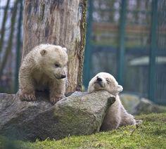 Polar Bear Cubs Are The Cutest Baby Animals On Earth