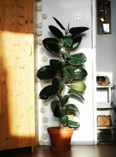 Rubber Tree Plant Care – the Popular Ficus Elastica - - The Rubber Tree. A gorgeous houseplant that can grow to gargantuan proportions when given the proper conditions. A stunning plant with thick and glossy and leathery leaves. It's a real sta…. Ficus Elastica, Plantas Indoor, Decoration Plante, Bedroom Plants, Bedroom Wall, Trees To Plant, Indoor Tree Plants, House Tree Plants, Indoor Tropical Plants