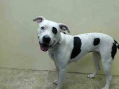 Brooklyn Center    LISA - A1007987    FEMALE, WHITE / BLACK, PIT BULL MIX, 2 yrs  STRAY - STRAY WAIT, NO HOLD Reason STRAY   Intake condition NONE Intake Date 07/25/2014, From NY 11234, DueOut Date 07/28/2014  https://www.facebook.com/Urgentdeathrowdogs/photos_stream?fref=photo