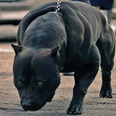Such a Cute Panther Pitbull Terrier, Pitbull Dog Puppy, Bully Dog, Beautiful Dogs, Animals Beautiful, Cute Animals, Cute Dogs And Puppies, Big Dogs, Giant Dogs