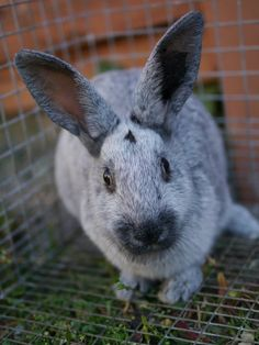Pinned because I love this 'blue' bunny. Don't get upset if you click the link. Yeah, it's cute, cows are cute too but I still love burgers. This cutie would be the one you keep as a pet and breeder. That's how we do it in the country. (Link goes to:Raising and Breeding Rabbits For Meat).