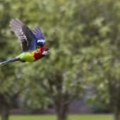 Eastern rosella | New Zealand Birds Online