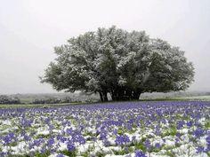 Snowy Bluebonnets.