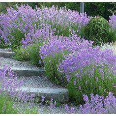 Terraced garden steps - but with lavender/rosemary instead. Stone Garden Paths, Garden Steps, Back Gardens, Outdoor Gardens, Lavandula Angustifolia Munstead, Landscape Design, Garden Design, Sloped Garden, Traditional Landscape