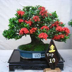 Fun And Eco-Helpful Solutions To Remodel Your Yard Murraya Exotica Clump Photo By Rishmantrijo_Album Photobucket Bonsai Soil, Bonsai Art, Bonsai Plants, Bonsai Garden, Bonsai Trees, Bonsai Tree Types, Indoor Bonsai Tree, Ikebana, Japanese Bonsai Tree