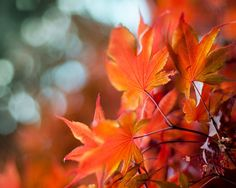 Autumn Photography, Red-Orange Maple Leaves by TreetopPhotoShop