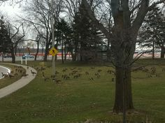 Because of the mild winter we've been having, the geese seem to have stayed! Lakeview Park has turned into a Goose Utopia!