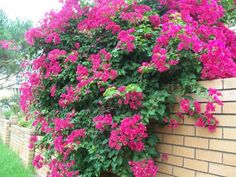 BOUGAINVILLEAS are extremely beautiful colorful flowering plants which are native to subtropical and tropical Brazil. In North America. it is grown in SOUTHERN FLORIDA, as well as in the southern tip of Texas, parts of California and all of Hawaii.