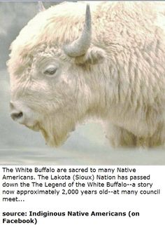Legend of the White Buffalo American Indian Quotes, Native American Wisdom, Native American Artwork, Native American Indians, Buffalo Animal, Buffalo Art, American Animals, American Bison, Buffalo Pictures