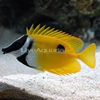 Our One Spot Foxface is a vibrant fish and pretty big too