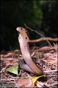 Naja atra--Chinese cobra
