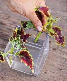 Coleus Plants: Varieties, Care & Growing Them - This Old House Coleus Care, Endless Summer Hydrangea, White Flower Farm, Yellow Leaves, Potting Soil, Propagation, Container Plants, Lawn And Garden, Potted Plants