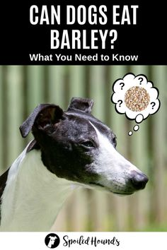Grain Free Dog Food Can dogs eat barley? Keep your dog safe and find out what you need to know about dogs eating barley. Free Dog Food Can dogs eat barley? Keep your dog safe and find out what you need to know about dogs eating barley. Dog Breeds Little, Best Dog Breeds, Cute Dog Collars, Grain Free Dog Food, Dog Nutrition, Dog Information, Dog Grooming Business, Dog List, Dog Safety