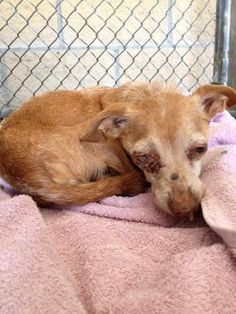 Please help Chewy!!! Injured senior (9 yrs old) in need of emergency care! San Antonio TX - San Antonio Pets Alive- please email at: placement@sanantoniopetsalive.org and reference Pet ID: 288107!!