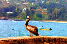 Pelicano - Pelican by gabi.goni