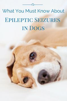 DIY Pets : Did you know seizures in dogs can be caused by a genetic predisposition? Find out what are the causes treatment and how you can prevent it: Best Practice, Epilepsy In Dogs, Pet Dogs, Dogs And Puppies, Doggies, Dog Seizures, Dog Health Tips, Pet Health, Training Tips