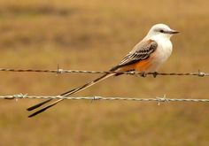 A scissor-tailed flycatcher (Tyrannus forficatus) photographed in the 111th bird count in Alafia Banks, Fla., by Bill Pranty
