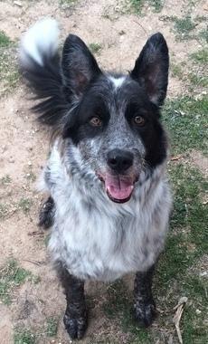 Meet Viking a Petfinder adoptable Border Collie Dog | Columbus, OH | Viking: 3 yrs; Active Companion; Border Collie/American Cattle Dog; Black/White Rough Coat; 60 lbs....