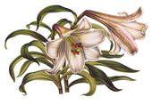 Stare Ilustracje Kwiatów 1640-1884 (Strona 2) - Bank Ilustracji Clipart. Zakup Kliparty Royalty Free Clipart na Dysku. od Visual Language