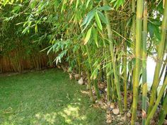 Not a picture of my yard, but I do grow and love bamboo.  A misunderstood plant loved by many, but hated by some.  It can be a beautiful addition to a yard if properly maintained and controlled.