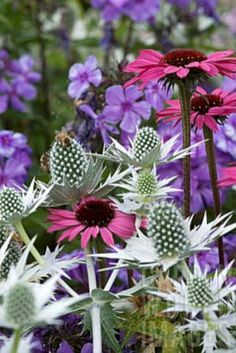 My Favorite Plant Combinations 27 Eryngium & Echinacea Wild Flowers, Beautiful Flowers, Purple Flowers, Seaside Garden, Slate Garden, Deco Floral, Garden Pictures, Dream Garden, Garden Planning