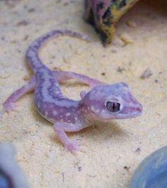 The Beaded Gecko, Lucasium damaeum