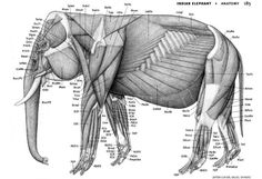 elephant _anatomy Elephant Anatomy, Dog Anatomy, Animal Anatomy, Anatomy Study, Anatomy Drawing, Anatomy Reference, Pose Reference, Animal Sketches, Animal Drawings