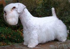 Sealyham Terrier  Origen: Gales  Carácter: Amistoso e intrépido  Peso: 8 a 11 Kg  Altura: 25 a 30 cm