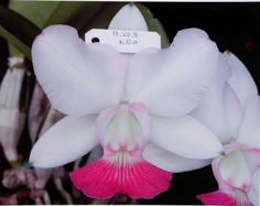 Cattleya orchid flower – learn how to grow http://www.growplants.org/growing/cattleya