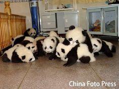"pandas: ""Fight!"""