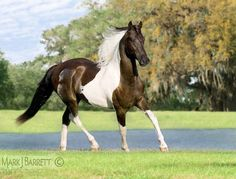 6082P1.jpg :: Friesian/Paint Horse cross yearling colt in front of pond