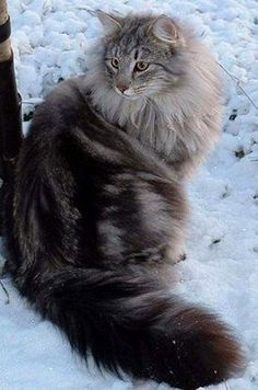 Fluffy cat breeds - My Norwegian Forest cat Boots is a twin to this beauteous vision of lovliness :) I Love Cats, Crazy Cats, Cool Cats, Cute Kittens, Cats And Kittens, Ragdoll Kittens, Bengal Cats, Siamese Cats, Kitty Cats