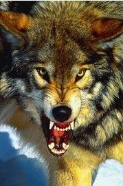 Grijze Wolf - Close-Up