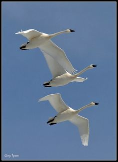 Tundra Swans in flight. A 'fanfare', or a 'flight', or a 'tranquility' of swans.