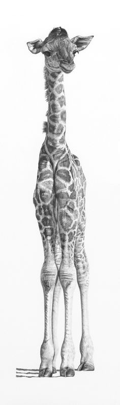 Pencil study of a young giraffe by clive64.deviantart.com on @DeviantArt...