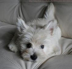 Westie. Too cute for words. These little white Westies just tug at my heart. Sweetest face doesnt cover it.