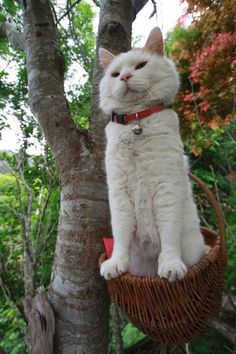 long cat         ew          white cat with red collar