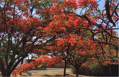 Por Rinaldo de Oliveira, da redação do SóNotícia Boa A natureza não falha! A seca passa, a primavera chega… e acidademuda de cor novamente. Depois do amarelo dos ipês, no mês de setembro, o vermelho da flamboyant invade Brasília, para dar um ensinamento (veja abaixo),encheros. Leia Mais