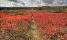 You can walk the trails through this red carpet as far as the eye can see.  Travel | West Virginia | Hiking| Things To Do | Nature | Foliage