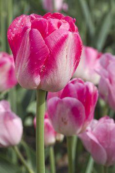 Purple Tulips, Tulips Flowers, Exotic Flowers, Amazing Flowers, Beautiful Roses, Planting Flowers, Beautiful Flowers, Peonies Garden, Pink Garden