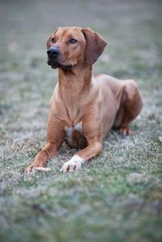 ..rhodesian ridgeback.. This is exactly the same as one of our dogs.