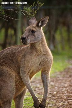 Moonlit Sanctuary - Mornington - the creatures of Australia Melbourne Cbd, Australia Travel, Continents, Moonlight, Wildlife, Creatures, Victoria, Adventure, Country