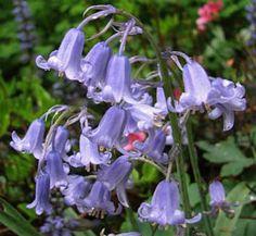 Hyacinthoides non-scripta - Hasenglöckchen / Pflanz-Zeitpunkt Sep.-Nov. / vor allem unter Bäumen und Sträuchern / auf einer Wiese bzw. Teile davon oder Gartenecken am Rande von Gehölzen