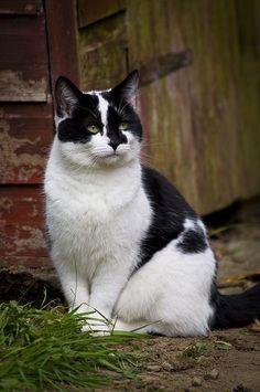 gorgeous black & white cat