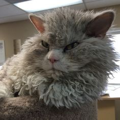 """Bitchy resting face"" is a totally serious condition in which an individual's resting, unemotional face naturally looks like it's angry. Albert the cat suffers from this serious condition, which is hilarious because his luscious, curly fur also makes him look like a sheep (the curls are a hallmark of his breed, the Selkirk Rex)."
