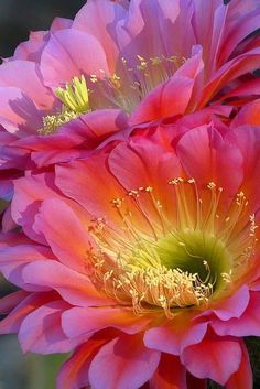 This is a cactus flower from THE FLYING SAUCER (name of cactus). Ive seen these cactus flowers. they are HUGE and just as pretty in person. Exotic Flowers, Amazing Flowers, Beautiful Flowers, Beautiful Gorgeous, Diy Flowers, Colorful Flowers, Deco Floral, Cactus Y Suculentas, Cactus Flower