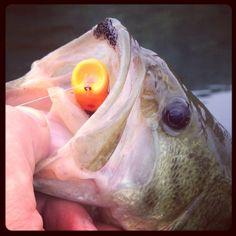 77 Best Largemouth Bass Images Largemouth Bass Fishing